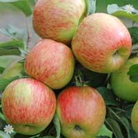 Apple 'Braeburn' Tree