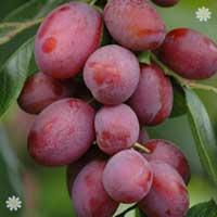Plum 'Victoria' tree