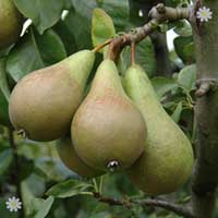 Pear 'Conference' Tree