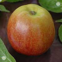 Apple 'Queen Cox' Tree