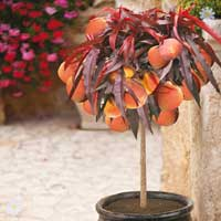 Red-Leaved Patio Peach Tree 'Crimson Bonfire'