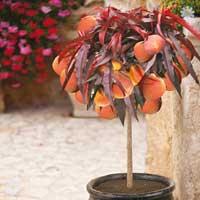Red-Leaved Patio Peach Tree 'Crimson Bonfire'