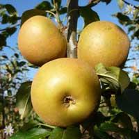 Apple 'Egremont Russet'  Tree