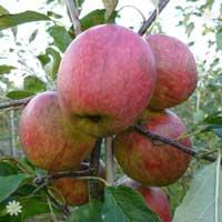 Apple 'Falstaff' Tree
