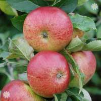 Apple 'Fiesta' Tree