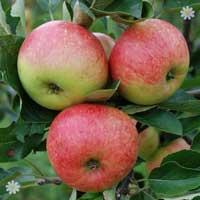 'James Grieve' Apple Tree