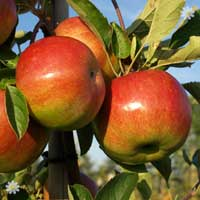 Apple 'Lord Lambourne'  Tree