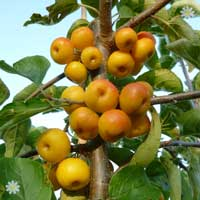 Crab Apple 'Butterball' tree