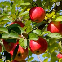 Apple 'Worcester Pearmain' Tree