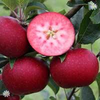 Premium Apple Tree 'Rosette' on MM106
