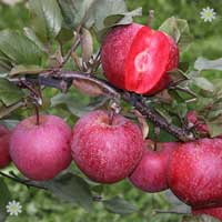 Premium Apple Tree 'Tickled Pink' on M26