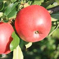 Patio Apple Sun Red