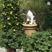 Scardy Cat Plant - Coleus canina