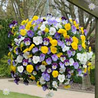 Trailing Hardy Pansy 'Cool Wave' Mix