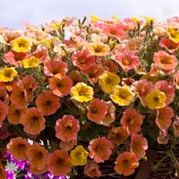 Petunia 'Indian Summer Apricot Shades' x 12