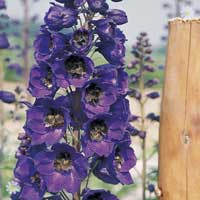 Perennial Delphinium 'Pacific Giants'
