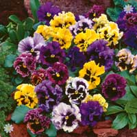 Pansy 'Frizzle Sizzle Mixed' 40 maxiplugs