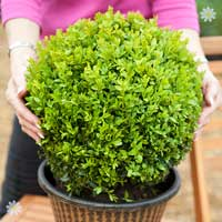 Pair of Buxus (Box) Balls 30cm diameter