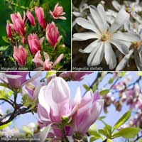 Complete Magnolia Collection 9cm x 3