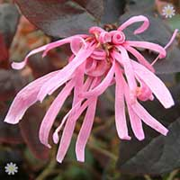 Chinese Witch Hazel 'Firedance' x 3 plants