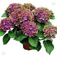 Pair of Hydrangea 'Glam Rock'