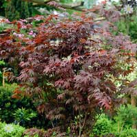 Acer Collection (Japanese Maple)