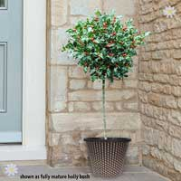 Pair of Holly Standards with Pots
