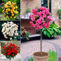 Patio Half Standard Rose Collection