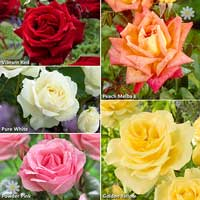 �Best Ever� Hybrid Tea Rose Bush Collection
