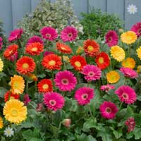 Hardy Gerbera 'Garvinea' Sweet series x 3 plants