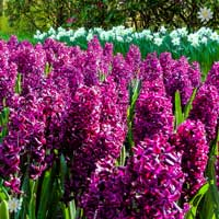 Hyacinth Woodstock
