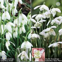 Single & Double Snowdrops 'In The Green' Twinpack…