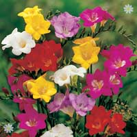 Mixed Fragrant Patio Freesias x 100 corms
