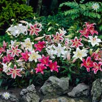 Carpet Oriental Lilies