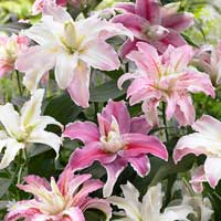 Premium Double Flowered Oriental Lily Collection - 9 bulbs