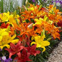 Carpet Lilies 'Hot Flame Mix'