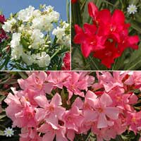 Mediterranean Flowering Oleander Collection - 17cm pots