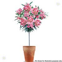 Premium Pink Oleander Standard 90-100cm