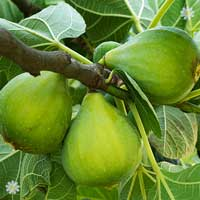 Pair of Hardy Standard Figs 1.2M tall in 5L pots