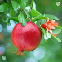 Hardy Pomegranate Bush
