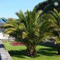 Pair of Hardy Phoenix Palms 1.4M
