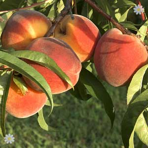 Potted Patio Peach tree 50% off