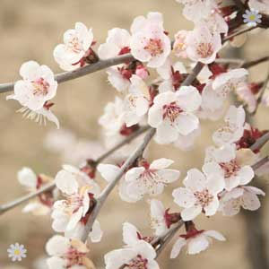 Prunus Kojo-No-Mai - flowering now