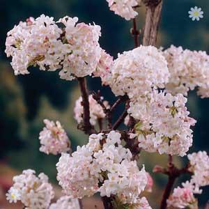 Viburnum 'Charles Lamont' - flower soon