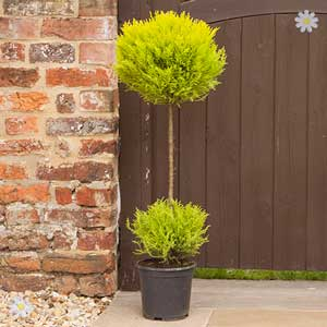 50% OFF Cypress Ball Topiary