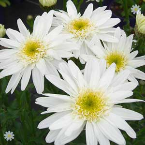 Shasta Daisy 3 pack 50% off