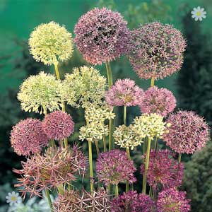 50% off 100 Allium Bulb mix