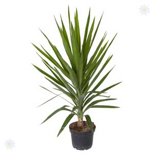 Huge Yuccas 1.5M tall - 50% OFF