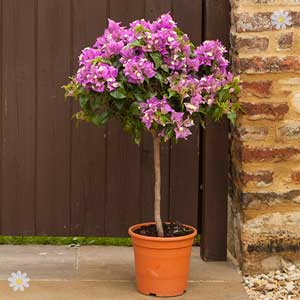 50% off Bougainvillea standards