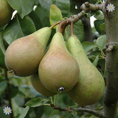 Pear Conference Tree
